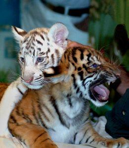 Mirage_white tiger