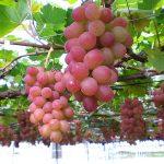 """果物の美味しい季節、収穫と味覚の両方を楽しめる""""果樹狩り""""に行こう!"""